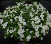 PETUNIA Little White Grace