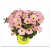Петуния Potunia Plus Soft Pink Morning ( 16  штук)