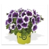 Петуния Potunia Purple Halo