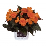 БегонияI´CONIA Portofino Hot Orange