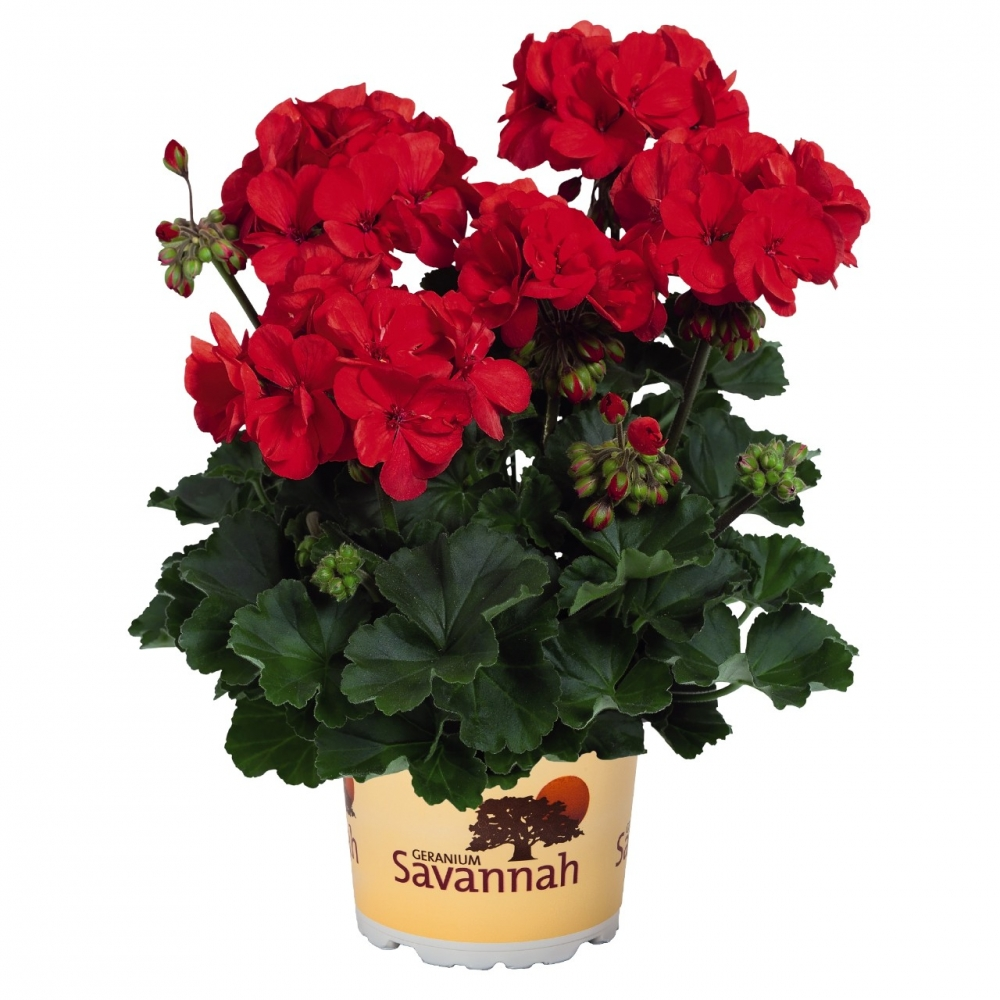 Пеларгония зональная Savannah Red (10 шт.)