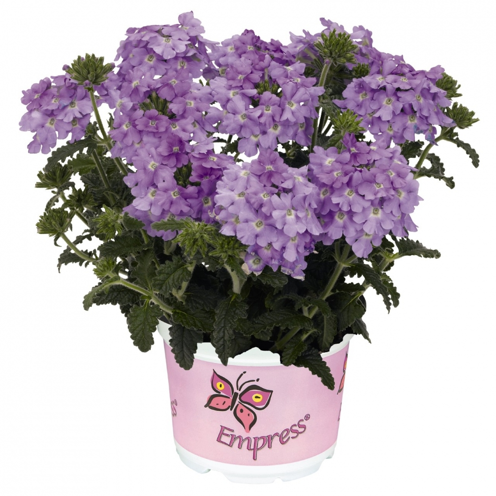 Вербена Empress Flair Lavender Blue (100 шт.)
