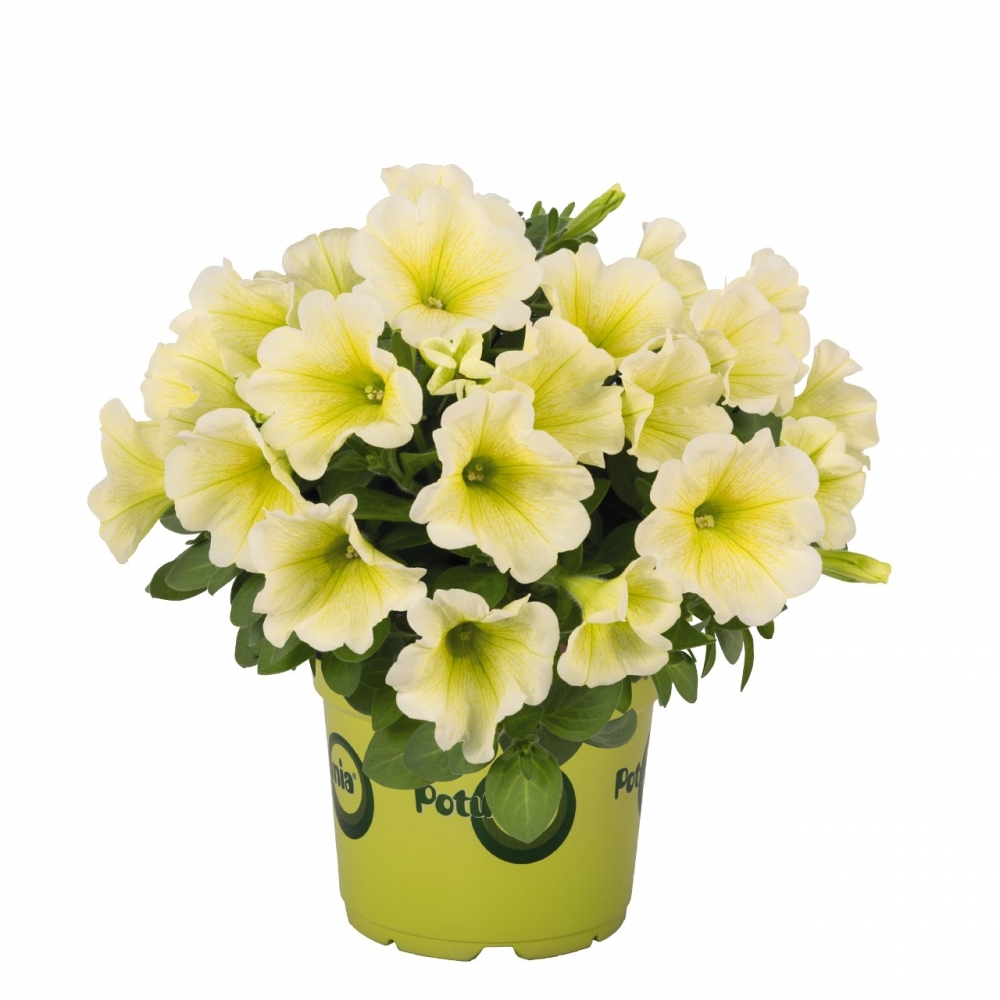 Петуния Potunia Yellow (104 шт. по 35 руб.)