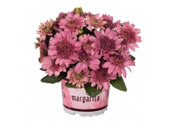 Остеоспермум Margarita Double Pink (16 шт. по 55 руб.)