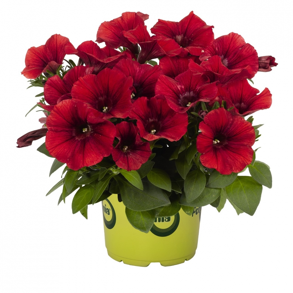 Петуния Potunia Dark Red (16 шт. по 52 руб.)