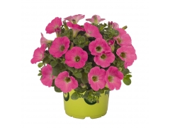 Петуния Potunia Plus Hot Pink (16 шт. по 52 руб.)