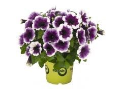 Петуния Potunia Plus Purple Halo (16 шт. по 52 руб.)