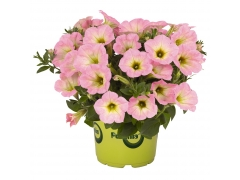 Петуния Potunia Plus Soft Pink Morning (16 шт. по 52 руб.)