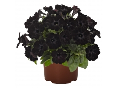 Петуния Sweetunia Black Satin (16 шт. по 52 руб.)