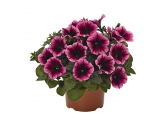 Петуния Sweetunia Burgundy Gem (16 шт. по 52 руб.)
