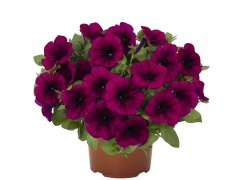 Петуния Sweetunia Purple (16 шт. по 52 руб.)