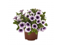 Петуния Sweetunia Purple Gem (16 шт. по 52 руб.)