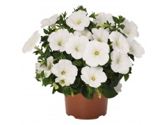 Петуния Sweetunia White (16 шт. по 52 руб.)