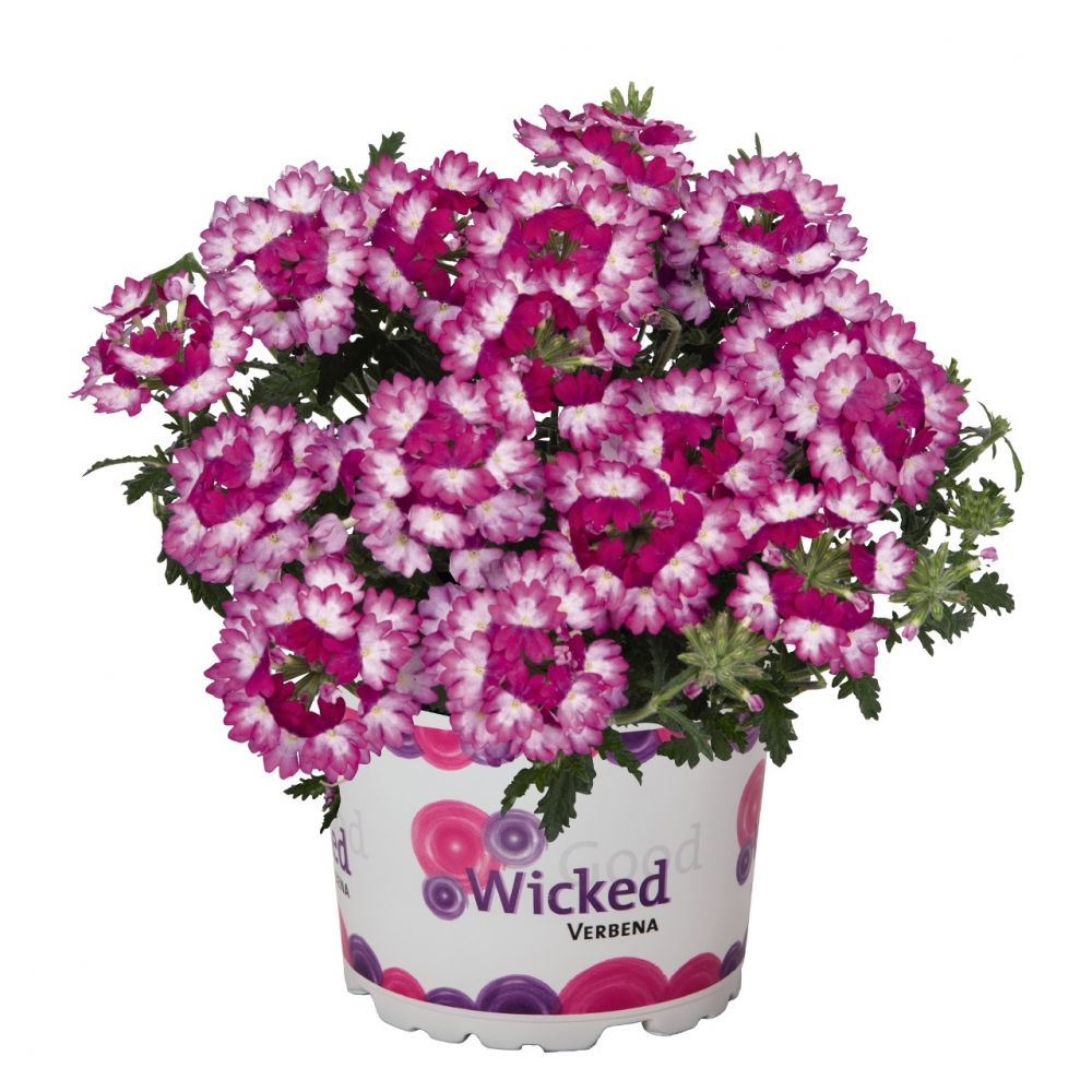 Вербена Wicked Dark Pink (16 шт.)