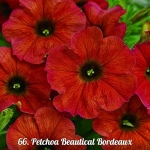 Петхоа Petchoa  BeautiCal™ Bordeaux  ( 16 штук)